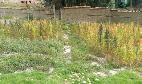In der Schule wird noch selber angepflanzt (im Bild: Quinoa)